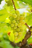 Grupo fino de uvas frescas fotos de stock