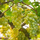 Grupo fino de uvas frescas imagem de stock royalty free