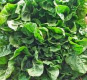 Grupo fresco verde orgânico da couve Fotos de Stock Royalty Free