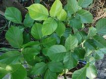 Grupo frondoso verde fotos de stock