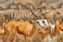 Grupo grande de animais, Namíbia Rebanhos dos animais perto do furo de água, Etocha NP, Namíbia, África Dia quente ensolarado na  fotografia de stock royalty free