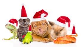 Grupo grande de animales domésticos en los sombreros rojos de Papá Noel Aislado en el backgro blanco Fotografía de archivo libre de regalías