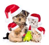 Grupo grande de animales domésticos en sombreros rojos de la Navidad Aislado en blanco Fotos de archivo libres de regalías