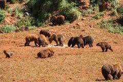 Grupo grande de arctos del Ursus de los osos marrones que alimentan en la naturaleza con un paisaje hermoso en el fondo fotos de archivo