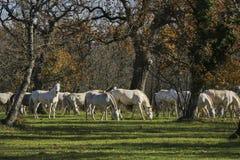 Grupo grande de caballos blancos que pastan en el bosque Imagen de archivo