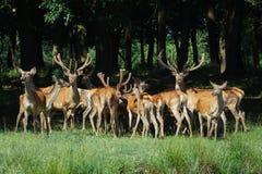 Grupo grande de ciervos rojos y de hinds que camina en fauna del bosque en hábitat natural Imágenes de archivo libres de regalías
