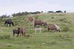 Grupo grande de colores de la diferencia de los caballos de Pottoka Imágenes de archivo libres de regalías