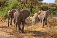 Grupo grande de elefantes que andam no lago Manyara fotos de stock royalty free