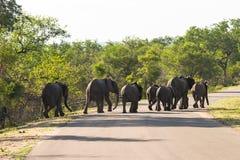 Grupo grande de elefantes que cruzan el camino Foto de archivo