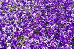 Grupo grande de flores de la petunia Imagenes de archivo