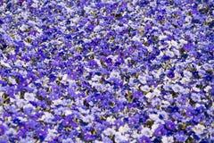 Grupo grande de flores de la petunia Imagen de archivo