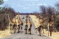 Grupo grande de girafas no parque nacional de Kruger, África do Sul Fotos de Stock