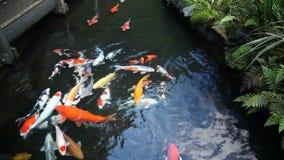 Grupo grande de Koi Fish Swimming colorido en la charca del jardín con la película 1080p de las plantas