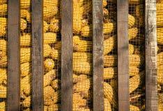 Grupo grande de maíz industrial Imágenes de archivo libres de regalías