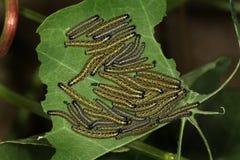 Grupo grande de orugas blancas grandes de la mariposa. Fotos de archivo