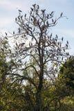 Grupo grande de pájaro cargado en cuenta abierto de la cigüeña en el árbol fotos de archivo