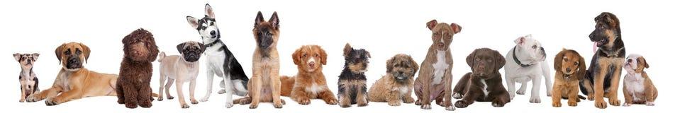 Grupo grande de perritos Imagen de archivo libre de regalías