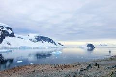 Grupo grande de pingüinos de Gentoo en península antártica Fotos de archivo