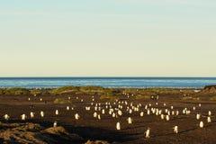 Grupo grande de pinguins de Gentoo que retornam à costa após a pesca foto de stock