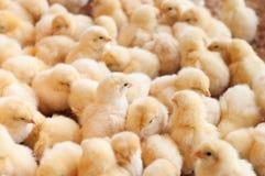 Grupo grande de polluelos del bebé Foto de archivo libre de regalías