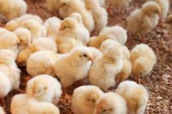 Grupo grande de polluelos nuevamente tramados Foto de archivo