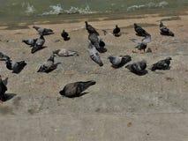 Grupo grande de pombos, andando na terra Multid?o de pombo na rua de passeio doen?as da propaga??o dos pombos Como os pombos espa imagens de stock royalty free