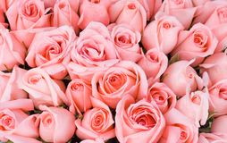 Grupo grande de rosas cor-de-rosa múltiplas de uma noiva em um w imagem de stock