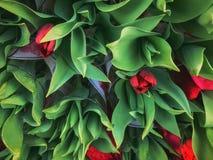 Grupo grande de Tulip Bouquets roja hermosa en la exhibición Fotos de archivo libres de regalías