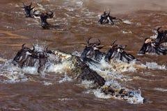 Grupo grande de wildebeest que cruza el río Mara Imágenes de archivo libres de regalías
