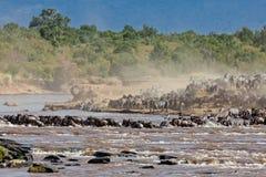 Grupo grande de wildebeest que cruza el río Mara Foto de archivo libre de regalías