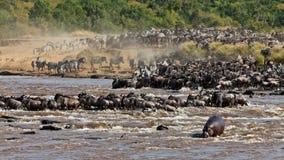 Grupo grande de wildebeest que cruza el río Mara Foto de archivo