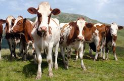 Grupo hermoso de vacas (tauro del primigenius del bos) Imagen de archivo