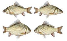 Grupo isolado da carpa crucian, um tipo dos peixes do lado Fotos de Stock
