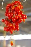 Grupo italiano de tomates pequenos e suculentos Fotografia de Stock Royalty Free