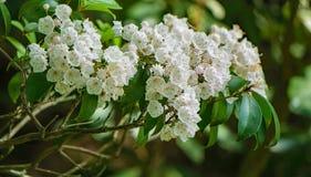 """Grupo latifolia del Kalmia del € de Laurel Wildflowerâ de la montaña """" Fotografía de archivo"""