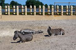 Grupo listrado da zebra que coloca na terra no jardim zoológico imagens de stock