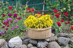 Grupo médico das flores do wort de St Johns na cesta Imagem de Stock Royalty Free