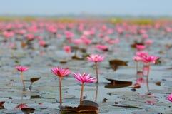 Grupo macro de lótus roxos cor-de-rosa brancos vermelhos da flor na água garde Foto de Stock
