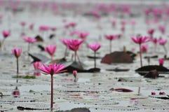 Grupo macro de lótus roxos cor-de-rosa brancos vermelhos da flor na água garde Imagem de Stock Royalty Free