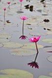 Grupo macro de lótus roxos cor-de-rosa brancos vermelhos da flor na água garde Fotos de Stock Royalty Free