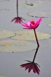 Grupo macro de lótus roxos cor-de-rosa brancos vermelhos da flor na água garde Fotografia de Stock