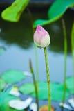 Grupo macro de lótus roxos cor-de-rosa brancos vermelhos da flor na água garde Fotos de Stock