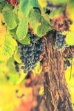 Grupo maduro da uva vermelha Imagem de Stock