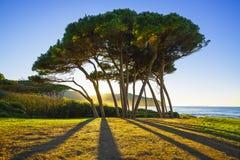 Grupo marítimo del árbol de pino cerca del mar y de la playa Baratti, Toscana fotos de archivo libres de regalías