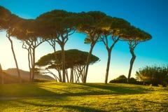 Grupo marítimo del árbol de pino cerca del mar y de la playa Baratti, Toscana fotografía de archivo