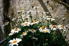 Grupo minúsculo branco bonito da flor em Itália Imagem de Stock