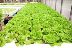 Grupo orgánico verde fresco de la verdura de ensalada de la lechuga de butterhead en la granja del hidrocultivo, fondo de la natu foto de archivo libre de regalías