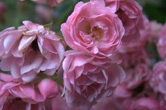 Grupo pequeno das rosas foto de stock royalty free