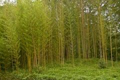 Grupo pequeno de árvores de bambu novas Fotos de Stock