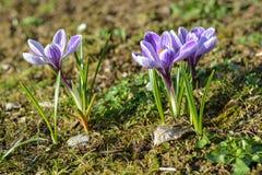 Grupo pequeno de açafrões na grama no sol Fotografia de Stock